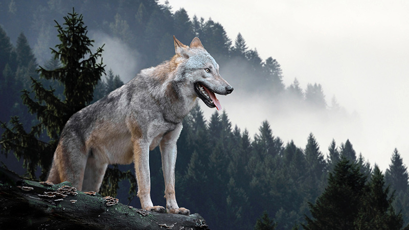 The Wolf Disease